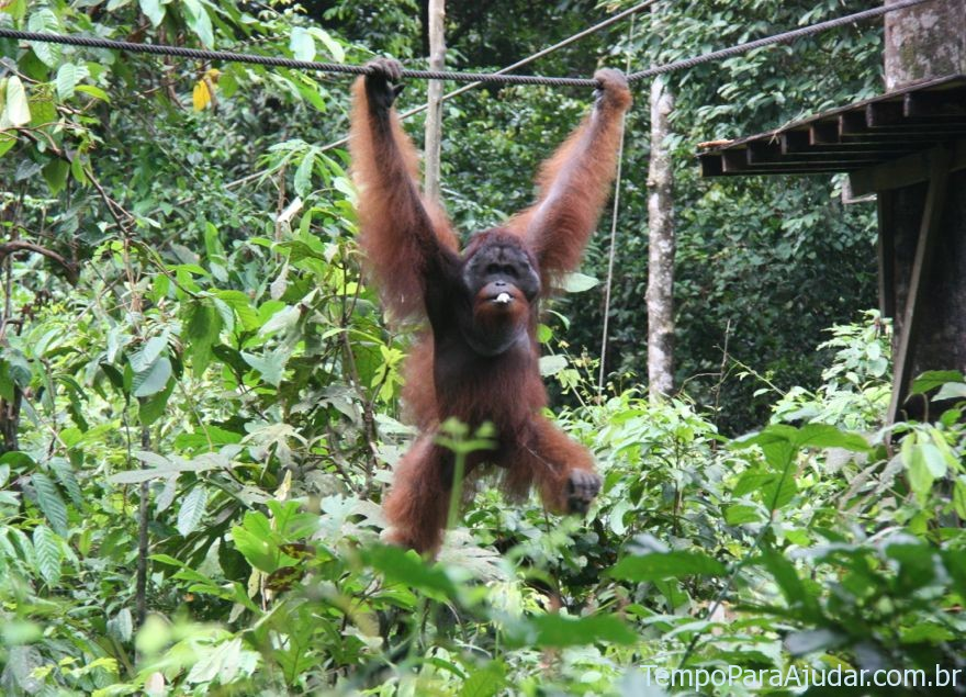 Um mega orangotango indo buscar comida