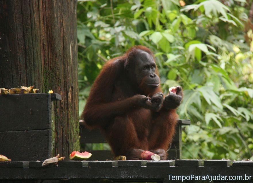 Orangotango pensativo