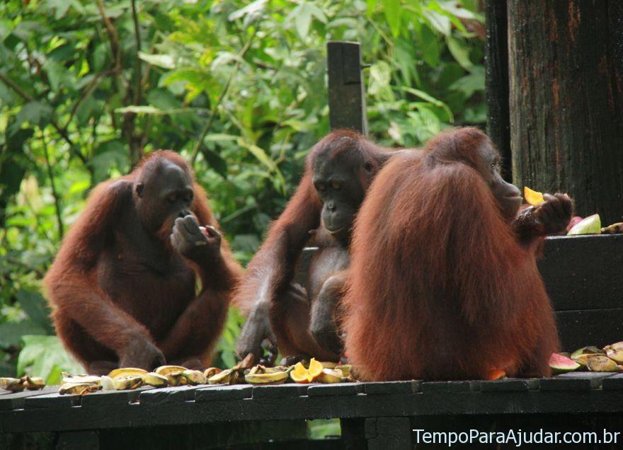 Reunião de orangotangos