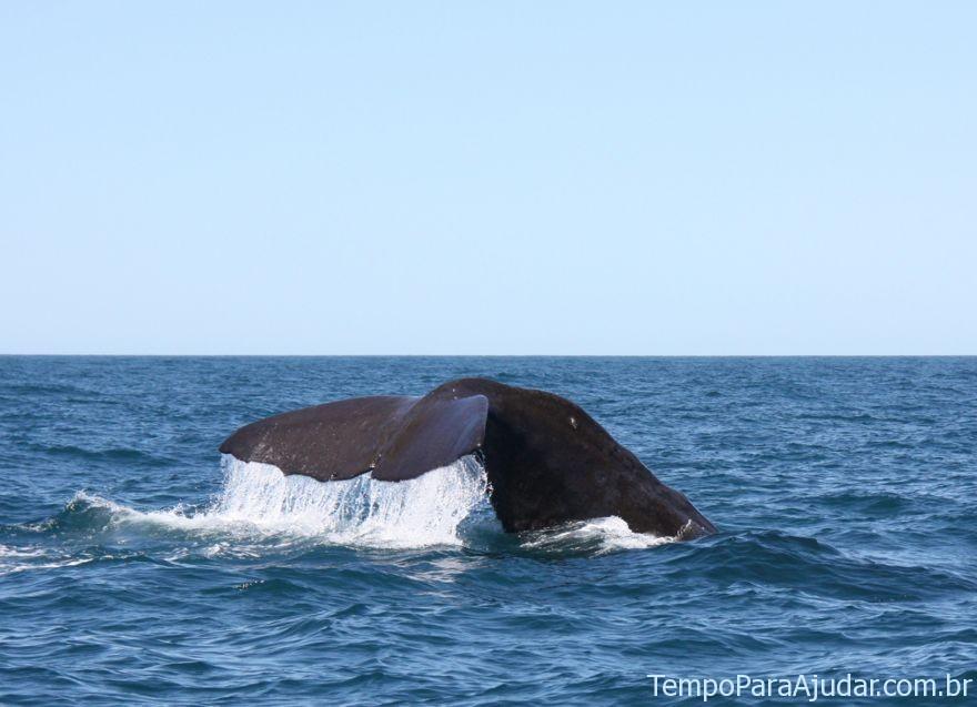 Baleia cachalote mergulhando