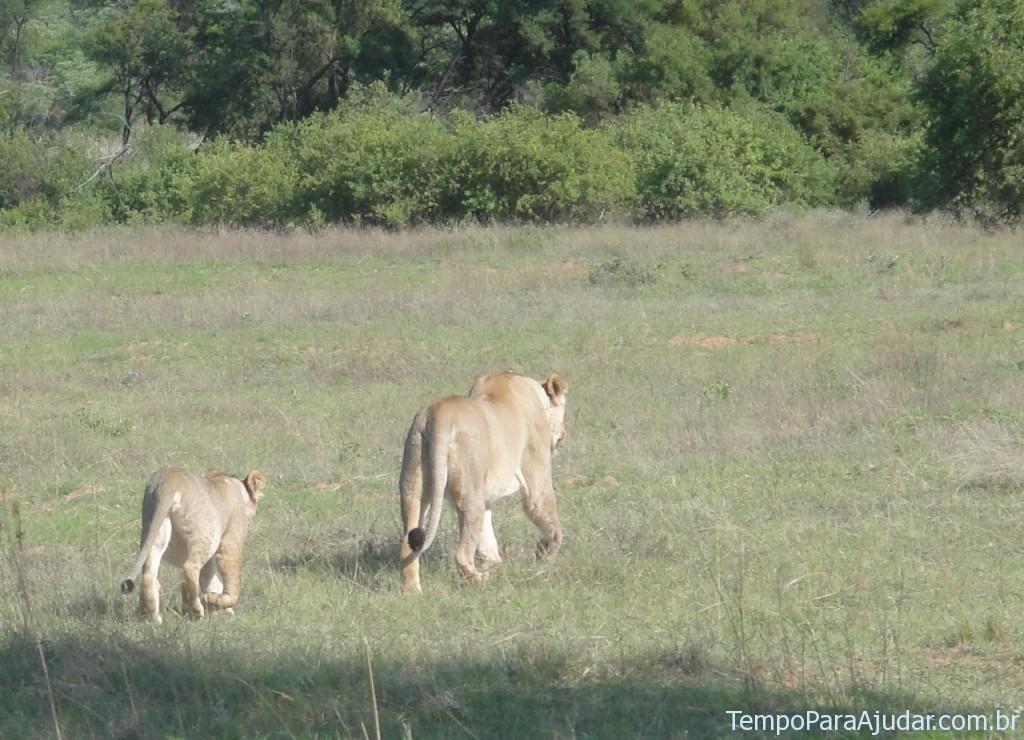 Leoa com filhote na África do Sul