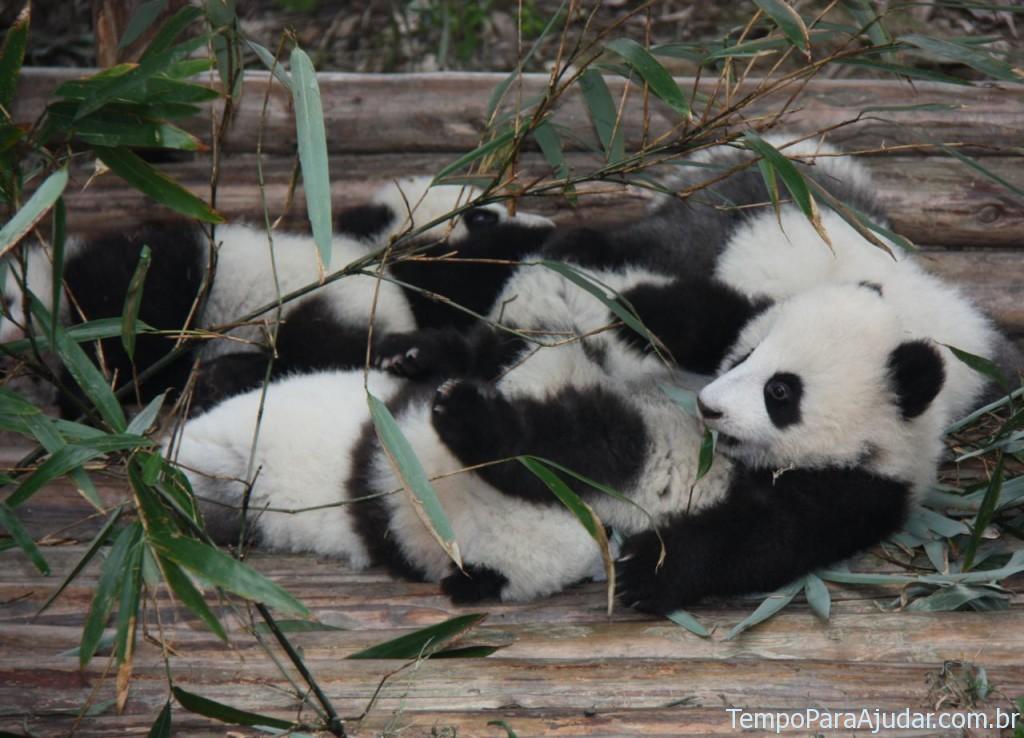Filhotes de urso panda