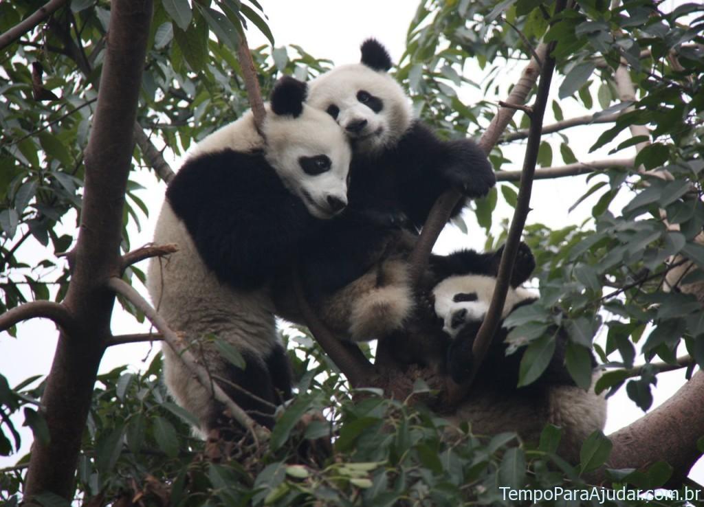Filhotes de urso panda na árvore
