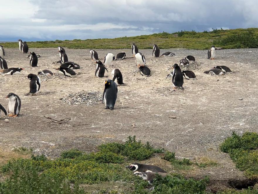 Pinguins no verão de Ushuaia